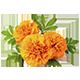 Lutein Marigold